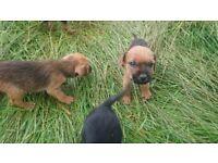 Adorable Border X Patterdale terrier pups