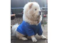 Chow chow puppy dog