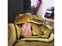 Gorgeous Platinum Tiger Reticulated Python For Sale! Great Feeder & Quirky Personality!