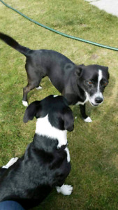 Missing :two small black and white dogs