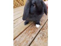 Mini Lop & Lop Cross Rabbits For Sale