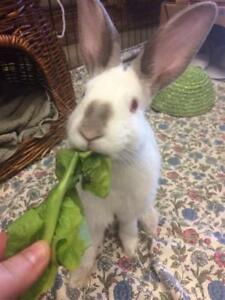 "Young Male Rabbit - Dutch: ""Rabbit Deniro*watch My Video*"""