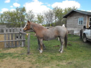 red roan saddle horse