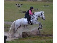 14.3 / 15hh Connemara mare 11yrs much loved (inc tack)