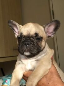 French bulldog boy
