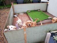 Lab/Retriever Puppys