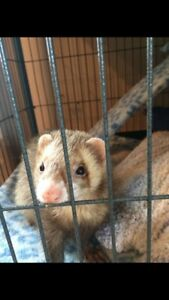 Two male ferrets ,cage,toys