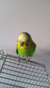 2 budgies and cage with toys