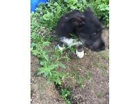 Westie cross yorkie puppy