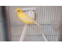 Canary Raza