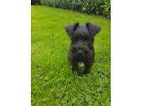 Miniture Schnauzer puppy/pup
