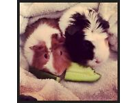 Reluctantly selling two female guinea pigs with cage and accessories