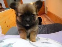 Chihuahua/Pomeranian mix Puppies, females, very cute, £550 for sale