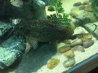 Synodontis catfish for sale