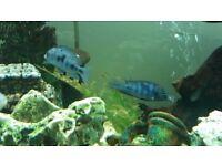 Tropical Fish Malawi Cichlids Haps and Mbuna