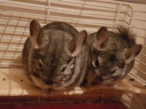 (Standard Grey) Chinchillas available
