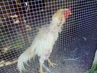 Shamo chicken £220