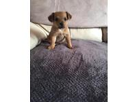 Adorable jack Russell x chihuahua girl puppy
