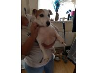 5 year old female jack russell