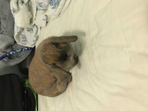 Sweet 1 years old girl pure bred Holland Lop looking for a good