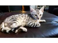 Silver bengal boy kitten
