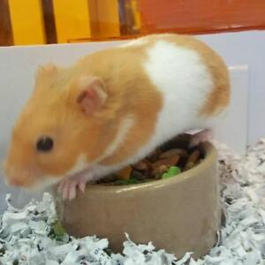 "Adult Male Small & Furry - Hamster: ""Dr Jeffery Budders"""