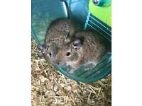 Two Degus with cage and bedding.