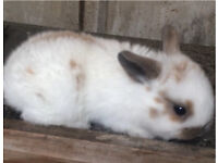 1 adorable baby rabbit for salw