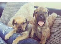 Presa canario puppies for sale