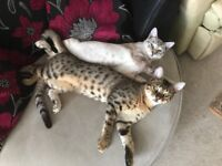 BENGAL CATS 7MONTHS-marble and snow marble