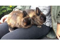 2 Female Netherlands Dwarf Rabbits for sale and cage and accessories