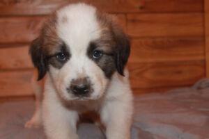 Saint-Pyrenees Puppies