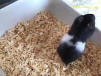 Syrian Hamster Babies