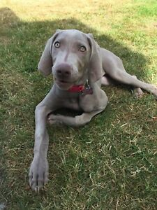 Unlimited CKC Registered Female Weimaraner  with Breeding Rights