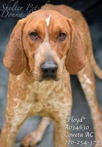 """Adult Male Dog - Redbone Coonhound: """"Floyd"""""""