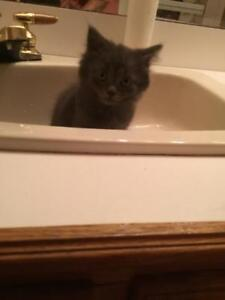 """Baby Female Cat - Domestic Long Hair (Gray): """"Aggy"""""""