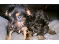 2 beautiful yorkie russel puppys