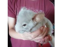 Baby medium tan chinchilla male