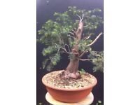 Quality Yamadori Yew bonsai material collected in Italy