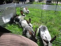 Sweet baby rabbits for sale salford