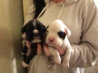 Kc registered boxer pups