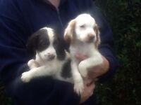 Sprocker pups for sale