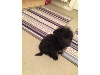 Jackapoo puppy for sale, male 10 weeks old, has been wormed, microchipped and fleaed.