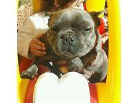 Blue tea cup french bulldog pedigree