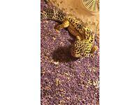 Leopard gecho