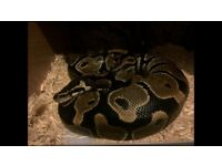 x2 Royal Pythons 1 male 1 female £200 O.N.O