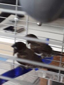 Bronze winged Manikin finch.