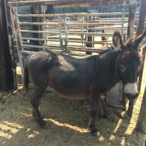 In Tact Miniature Male Donkey