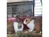 Pure breed Dutch rabbits for sale
