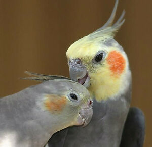 ❤★❤Friendly Cockatiels with Cage❤★❤